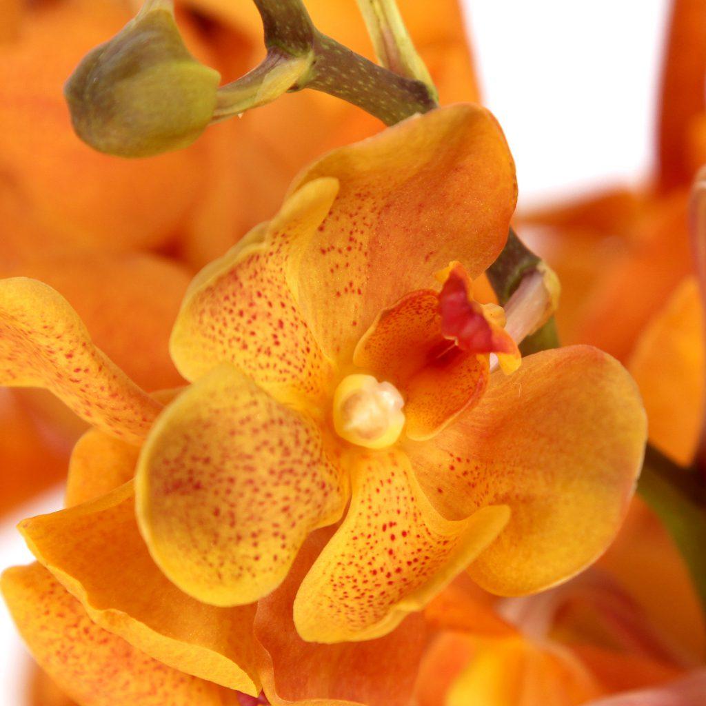 mokara orchids