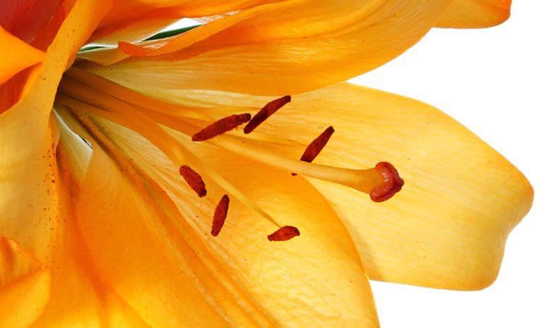Keep Lilies Fresh