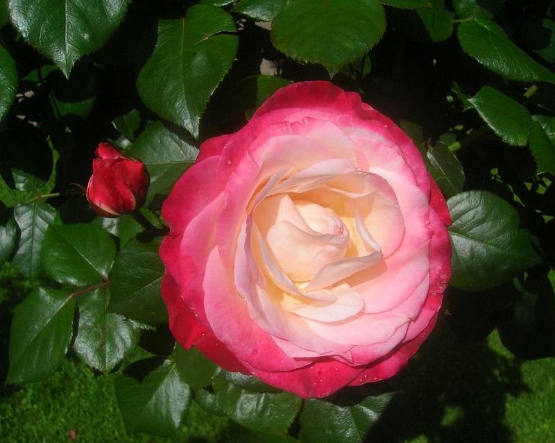Nostalgie Rose